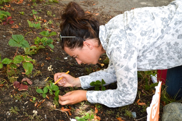 Kiara Jack examining a strawberry plant for insects.
