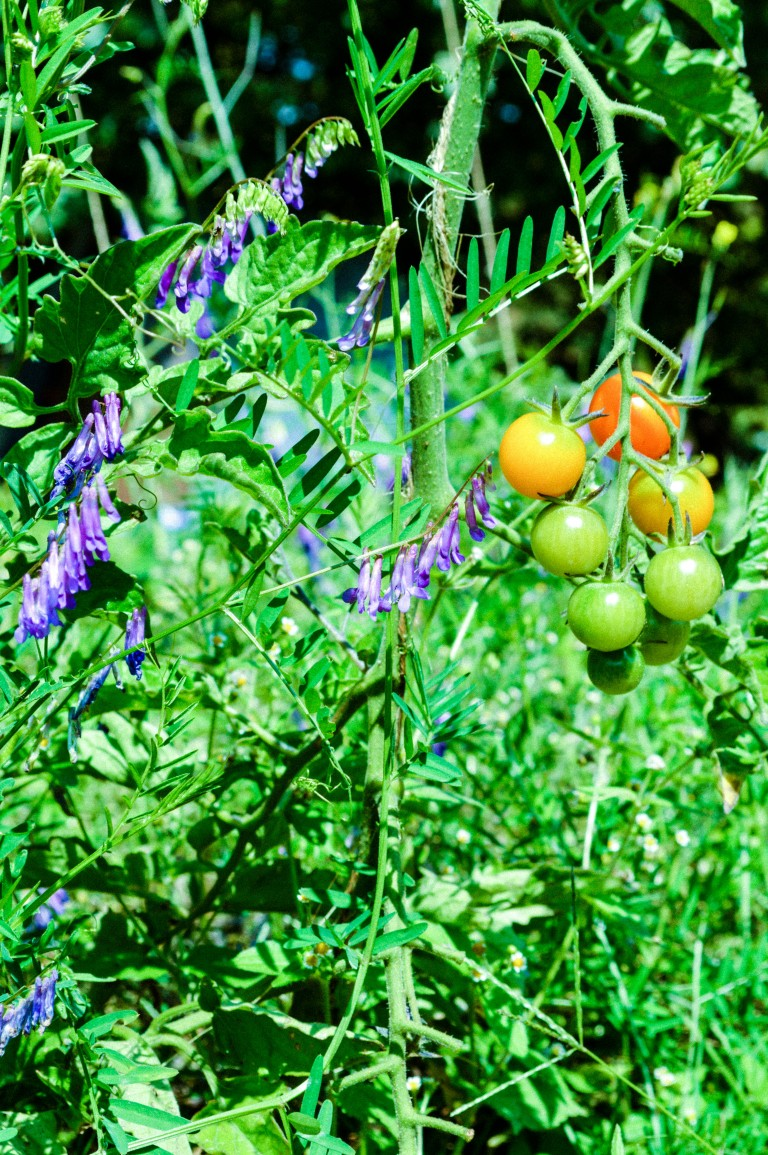 Tomatoes and vetch growing together.