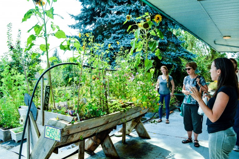 A wheelchair accessible garden bed growing sunflowers at Farmers on 57th